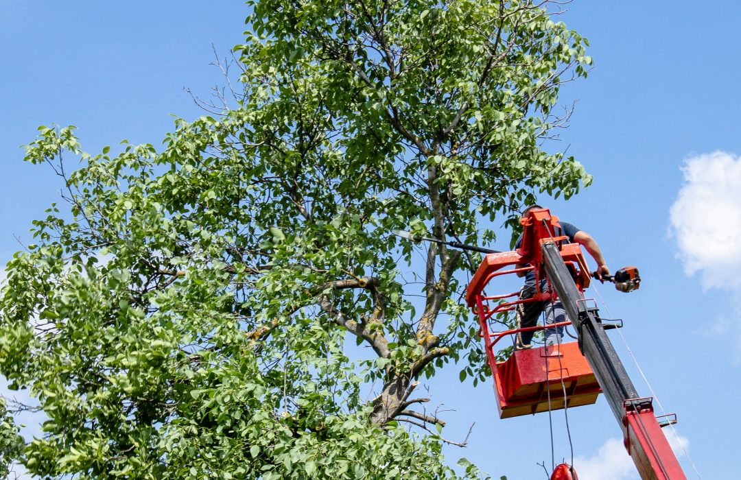 Tree pruning and sawing by a man with a chainsaw standing on the platform of a mechanical chairlift.